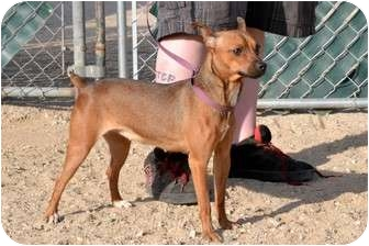 Miniature Pinscher Dog for adoption in California City, California - Sassy