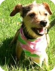 Terrier (Unknown Type, Small) Mix Dog for adoption in Columbus, Georgia - Daisy 6273