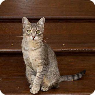 Domestic Shorthair Cat for adoption in Toronto, Ontario - Koko