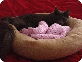 Domestic Mediumhair Cat for adoption in Simpsonville, South Carolina - Lady