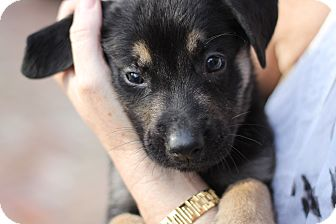German Shepherd Dog Mix Puppy for adoption in Davie, Florida - Tucker