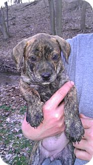 American Pit Bull Terrier Mix Puppy for adoption in Roaring Spring, Pennsylvania - Precious
