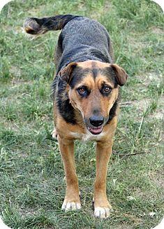 Shepherd (Unknown Type)/Doberman Pinscher Mix Dog for adoption in Westminster, Colorado - Sammy