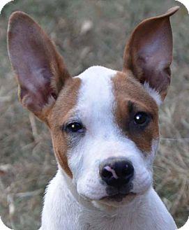 Terrier (Unknown Type, Medium)/Feist Mix Puppy for adoption in Staunton, Virginia - Popcorn