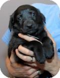 Retriever (Unknown Type)/Shepherd (Unknown Type) Mix Puppy for adoption in Minneapolis, Minnesota - Rudy