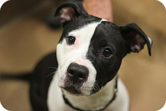 Pit Bull Terrier Mix Dog for adoption in Chicago, Illinois - Ballerina