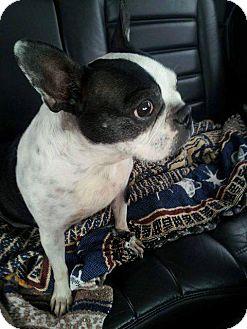 Boston Terrier Mix Dog for adoption in Miami, Oklahoma - Maggie