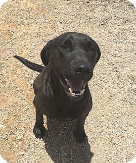 Labrador Retriever Mix Dog for adoption in Chino Valley, Arizona - Ryder
