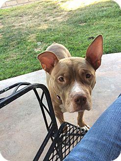 Pit Bull Terrier Mix Dog for adoption in Hesperia, California - Macy