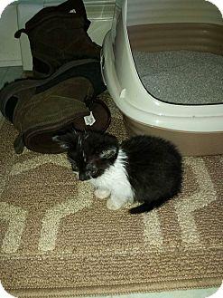 Domestic Shorthair Kitten for adoption in Rockford, Illinois - Oreo- female