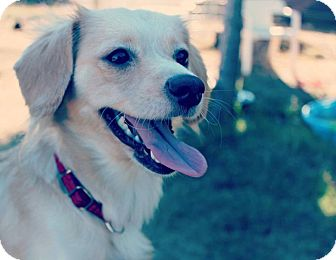 Spaniel (Unknown Type) Mix Dog for adoption in Surrey, British Columbia - Gina