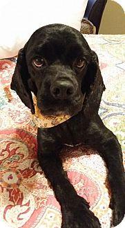 Cocker Spaniel Dog for adoption in Lawrenceville, Georgia - Ebony