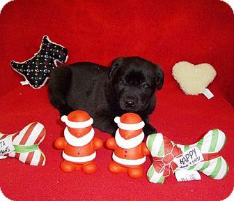 Labrador Retriever/Husky Mix Puppy for adoption in Greenville, Kentucky - Rudolph
