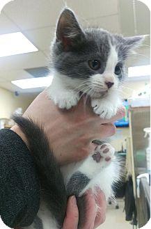Domestic Shorthair Kitten for adoption in Edmonton, Alberta - Tessa