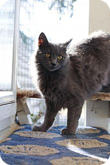 Domestic Longhair Cat for adoption in Lemoore, California - Maggie