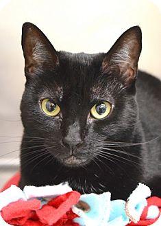 Domestic Shorthair Cat for adoption in Dublin, California - Wanda
