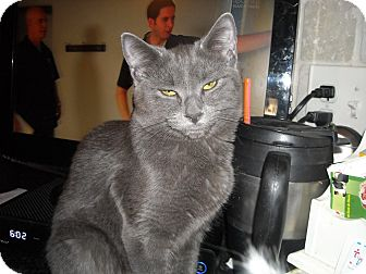 Domestic Shorthair Cat for adoption in Riverside, Rhode Island - Samantha