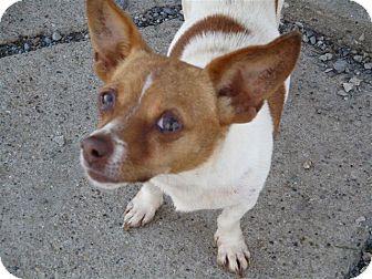 Chihuahua Dog for adoption in Liberty Center, Ohio - Gigi