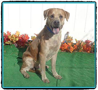 Labrador Retriever Mix Dog for adoption in Marietta, Georgia - BLUE (R)