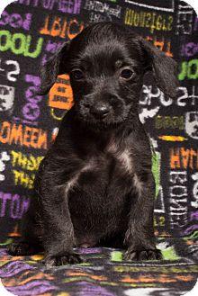 Schnauzer (Miniature)/Maltese Mix Puppy for adoption in Baton Rouge, Louisiana - Lester