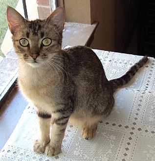 Abyssinian Cat for adoption in Alvin, Texas - Heidi