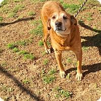 Adopt A Pet :: Lena - New Canaan, CT