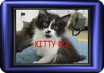 Calico Kitten for adoption in Cushing, Oklahoma - x KITTY # 2 adopte