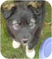 Collie Mix Puppy for adoption in Athabasca, Alberta - ELLIE
