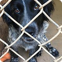 Adopt A Pet :: Jet - Irmo, SC