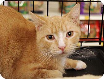 American Shorthair Cat for adoption in Hazlet, New Jersey - DJ