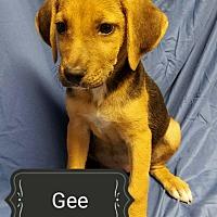 Adopt A Pet :: Gee - Ahoskie, NC