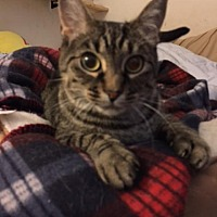 Adopt A Pet :: Valentina - O'Fallon, MO