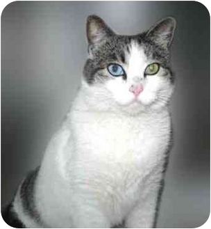 Domestic Shorthair Cat for adoption in San Clemente, California - SPUNKY
