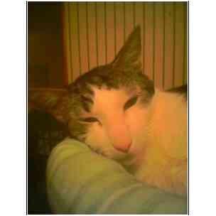 Domestic Shorthair Cat for adoption in Owasso, Oklahoma - Farmer