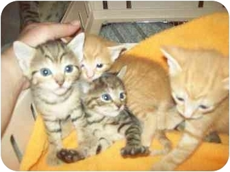 Domestic Shorthair Kitten for adoption in Little Neck, New York - STILL AVAIL