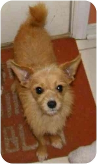 Chihuahua/Yorkie, Yorkshire Terrier Mix Dog for adoption in Mary Esther, Florida - Bear