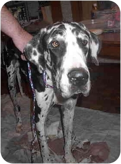 Great Dane Dog for adoption in Ortonville, Michigan - Chance-HELP!!!