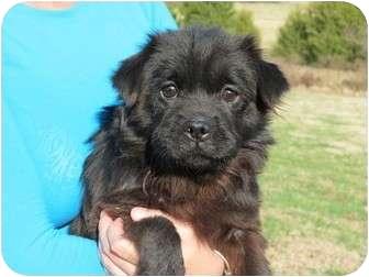 Pekingese/Shih Tzu Mix Puppy for adoption in Westbrook, Connecticut - Spencer