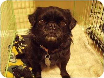 Pekingese/Pug Mix Dog for adoption in Hales Corners, Wisconsin - Vader