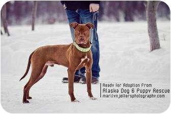 American Pit Bull Terrier Mix Dog for adoption in Wasilla, Alaska - Burton