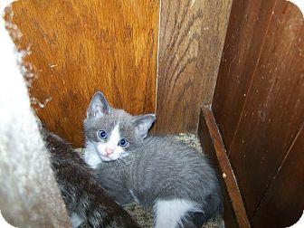 Domestic Shorthair Kitten for adoption in Aylesford, Nova Scotia - Edward G. Robinson