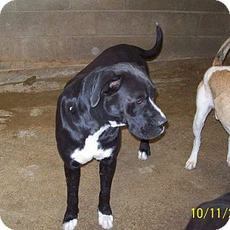 Boxer/Labrador Retriever Mix Dog for adoption in Lewisburg, Tennessee - David