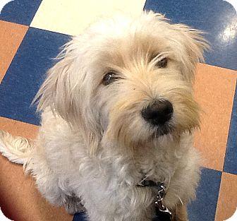 Labradoodle Mix Puppy for adoption in Vista, California - Salas