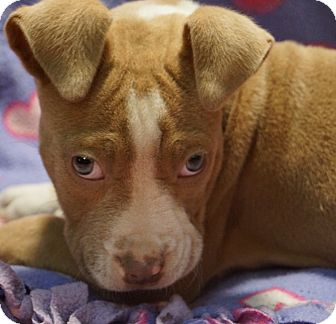 American Pit Bull Terrier Puppy for adoption in Newark, Delaware - Penny