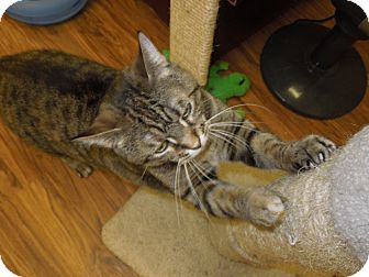 Domestic Shorthair Cat for adoption in Medina, Ohio - Victoria