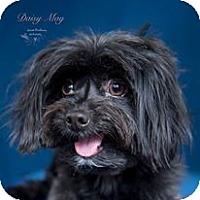 Adopt A Pet :: Daisy May - Rancho Mirage, CA