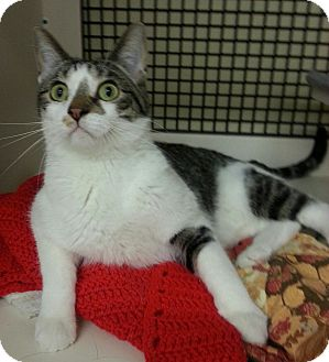 Domestic Shorthair Cat for adoption in Kansas City, Missouri - Figaro - declawed