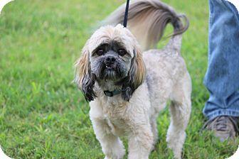 Shih Tzu Dog for adoption in Oakville, Connecticut - Rascal