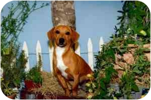 Dachshund Mix Dog for adoption in College Station, Texas - Hi-Top