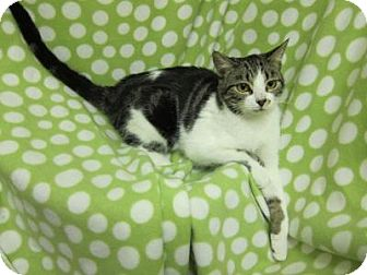 Domestic Shorthair Cat for adoption in Asheboro, North Carolina - Cindy Crawford